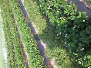 strawberry field 2014